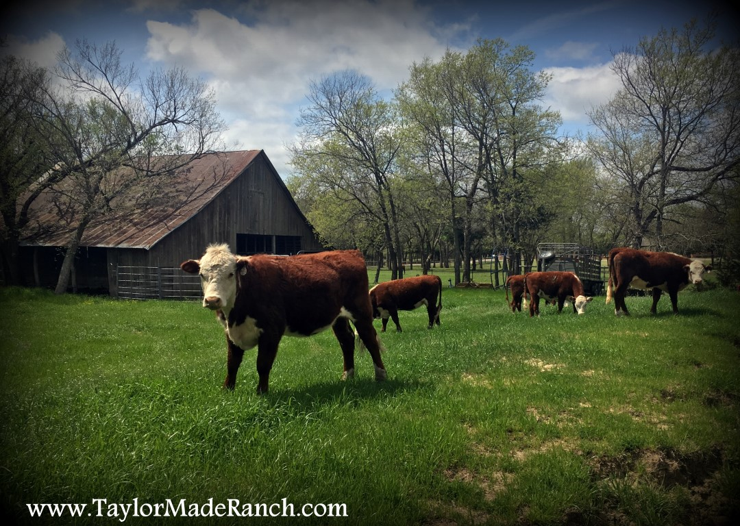 Registered Polled Hereford Heifers For Sale In NE Texas #TaylorMadeRanch