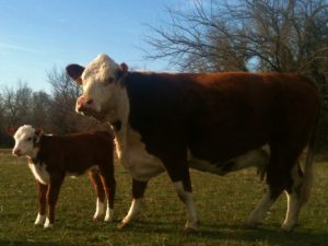 New Registered Polled Hereford Calf. Why not use modern technology to aid you & help efficiency in monitoring your herd? We use a drone that's proven invaluable in certain circumstances! #TaylorMadeRanch