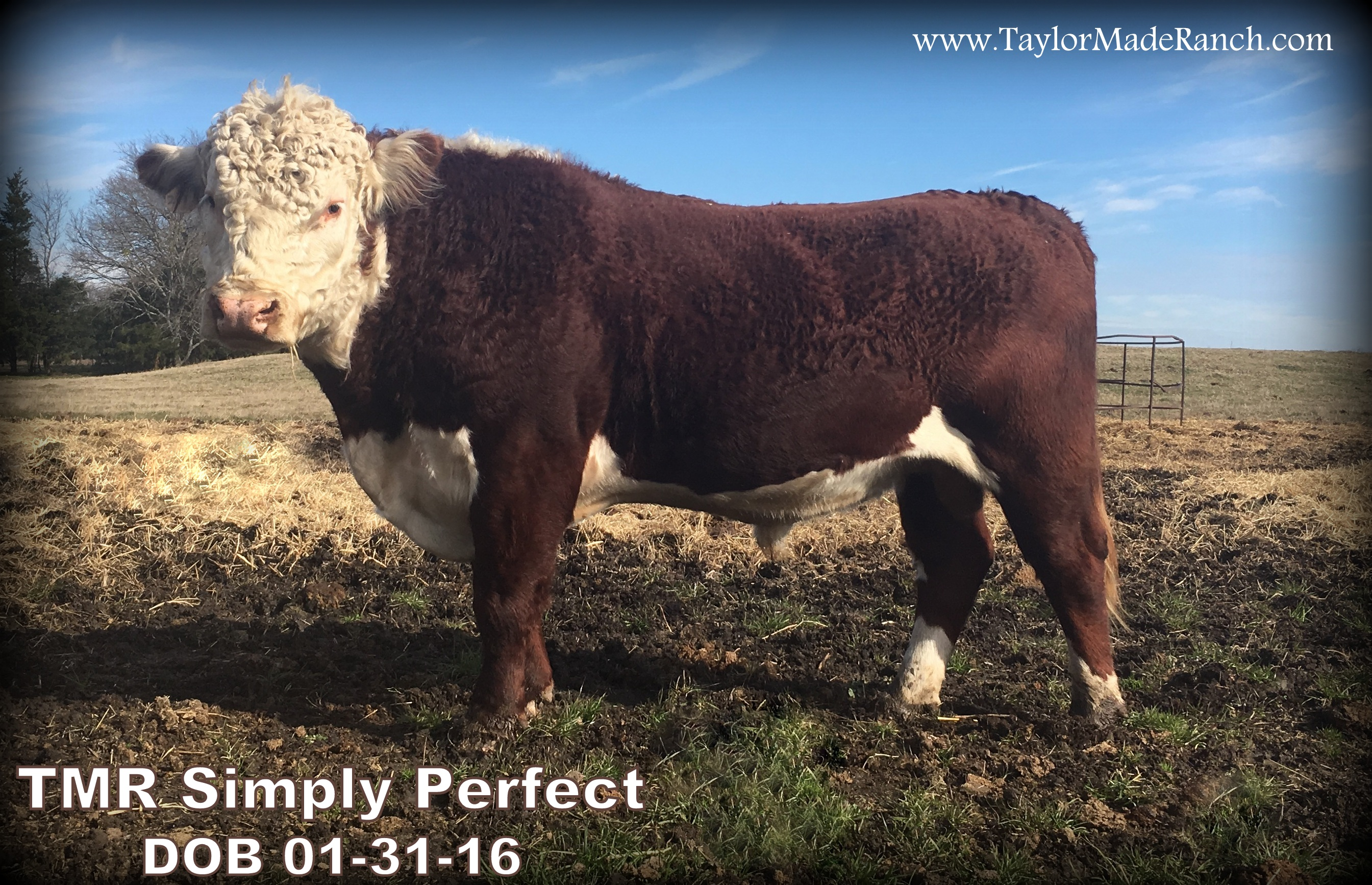 TMR Simply Perfect - Registered Polled Hereford Bull from Taylor-Made Ranch, LLC