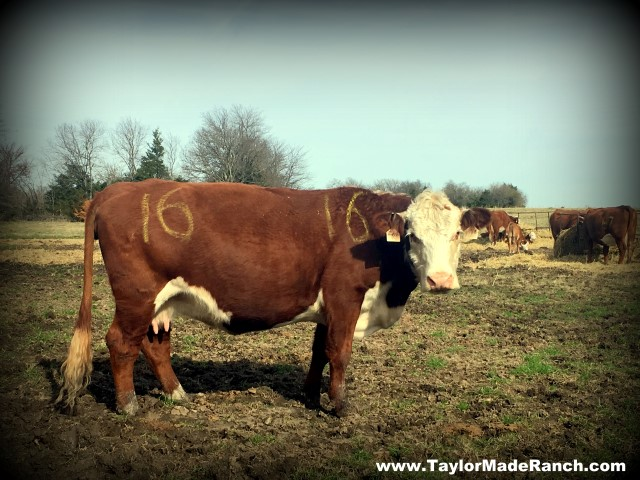 Clearly mark expectant cow with yellow livestock marker #TaylorMadeRanch