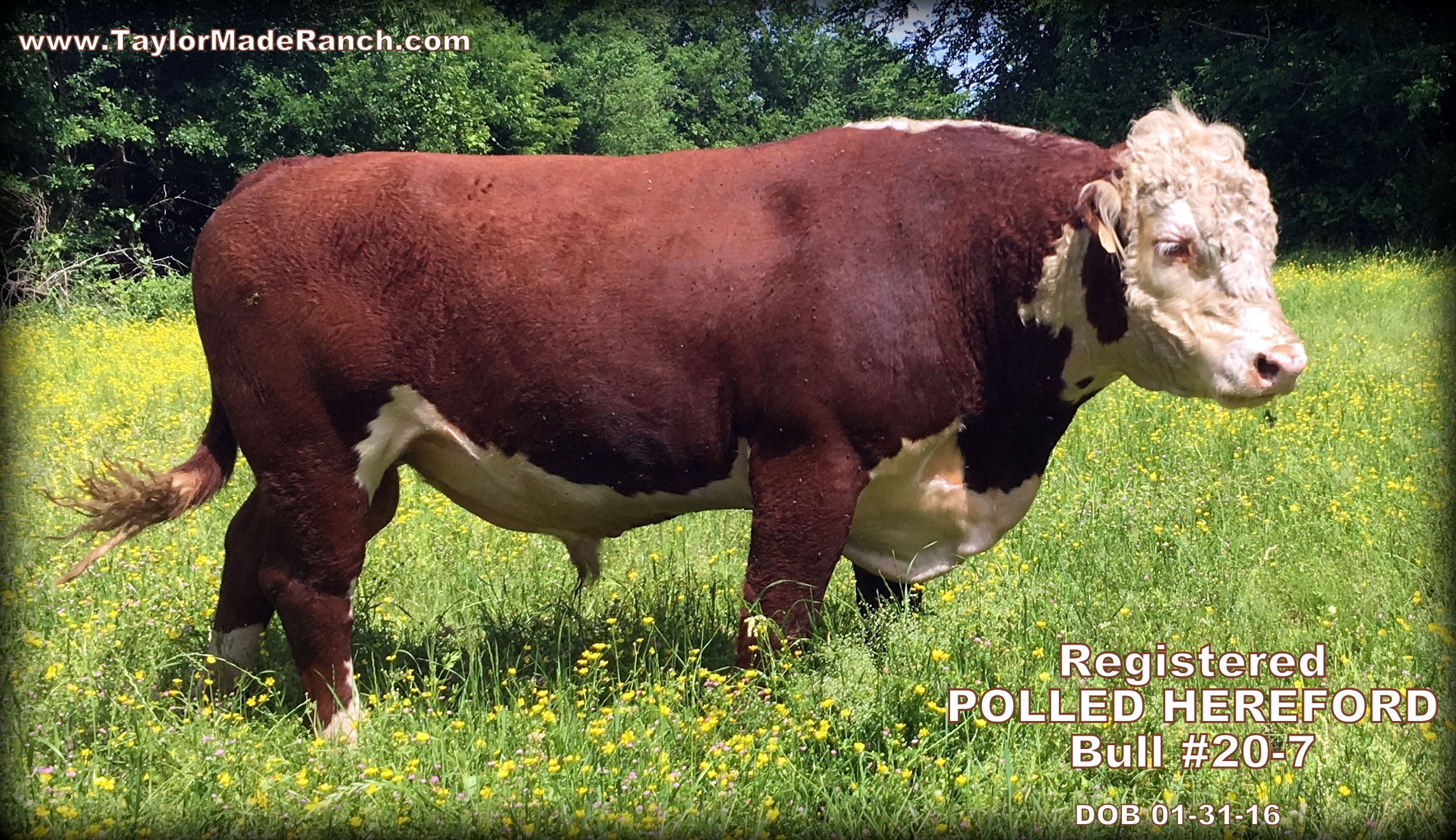 Registered Polled Hereford Cattle For Sale - Taylor-Made Ranch