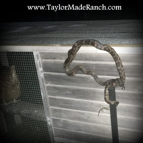 Rat snake at the chicken coop #TaylorMadeRanch