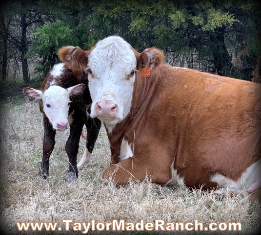 Registered Polled Hereford cows cow calf #TaylorMadeRanch.com