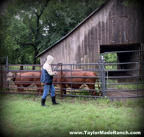 Registered Polled Hereford cows preparing for A.I. breeding at Taylor-Made Ranch in Texas #TaylorMadeRanch