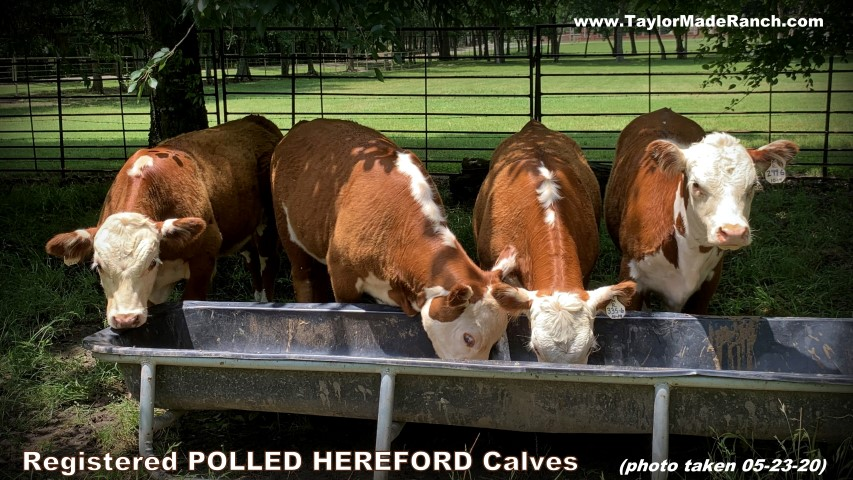 Registered Polled Hereford Calves in NE Texas #TaylorMadeRanch